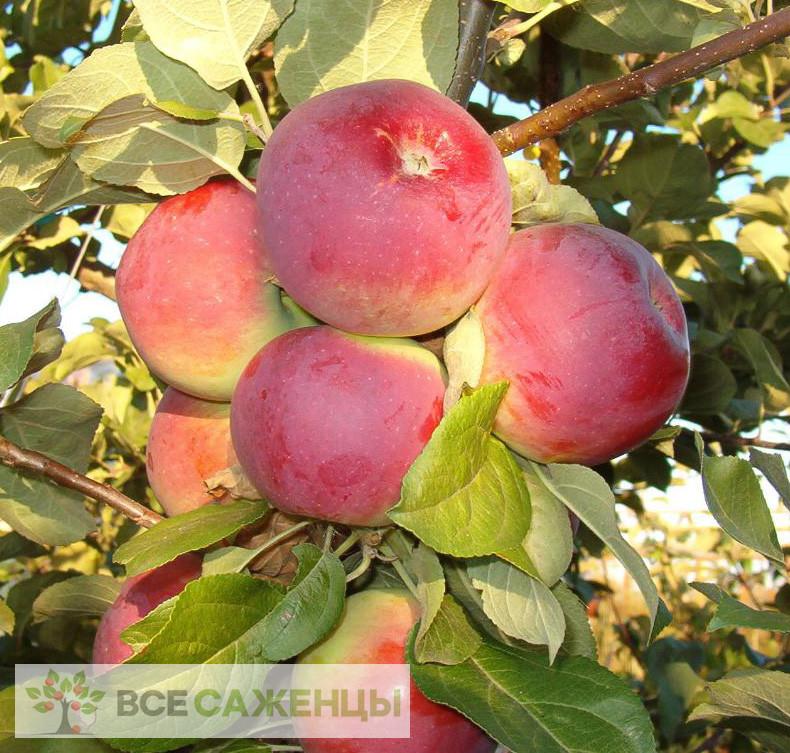 Купить Яблоня Орлик