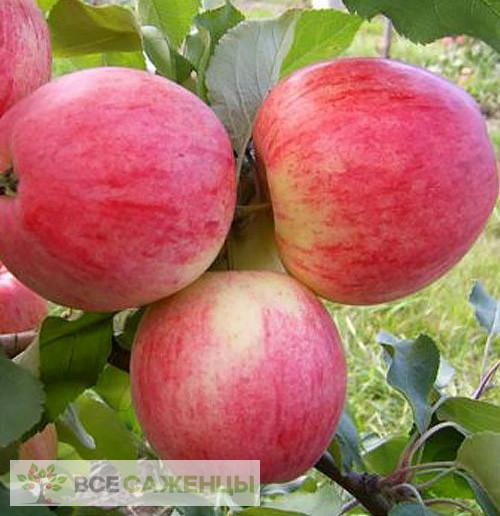 Купить Яблоня Розовый налив