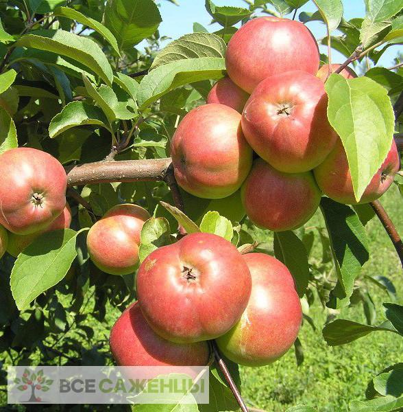 Купить Яблоня Белорусское Сладкое
