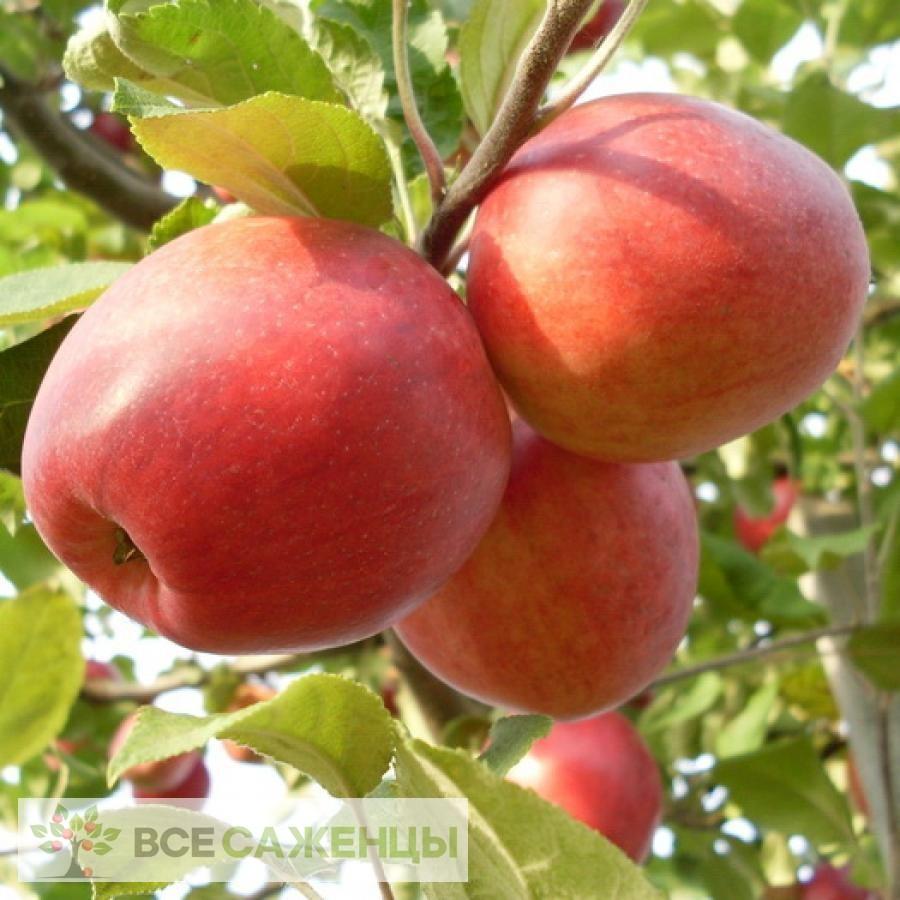 Купить Яблоня Пепин шафранный