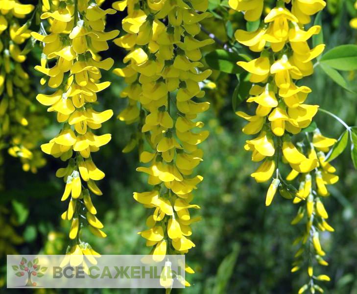 Фото саженцев Акация желтая (Карагана древовидная, Caragana)