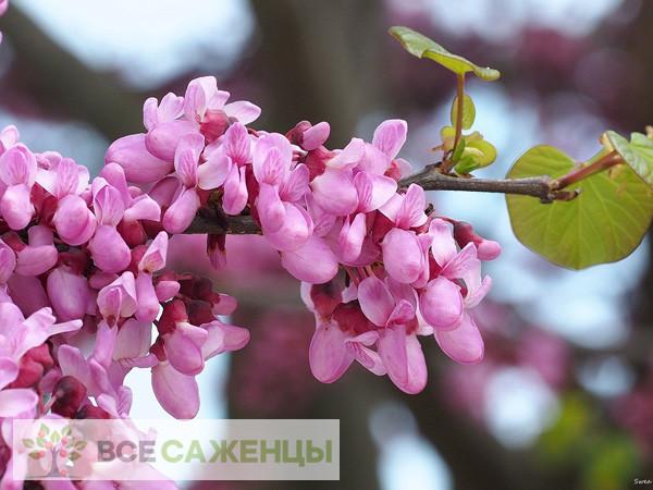 Фото саженцев Багрянник европейский (он же Церцис или Иудино дерево)