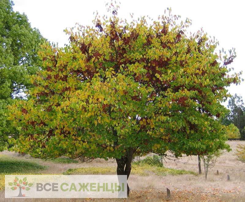 Купить в питомнике Багрянник европейский (он же Церцис или Иудино дерево)