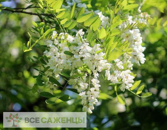 Фото саженцев Белая акация (Робиния ложноакациевая)
