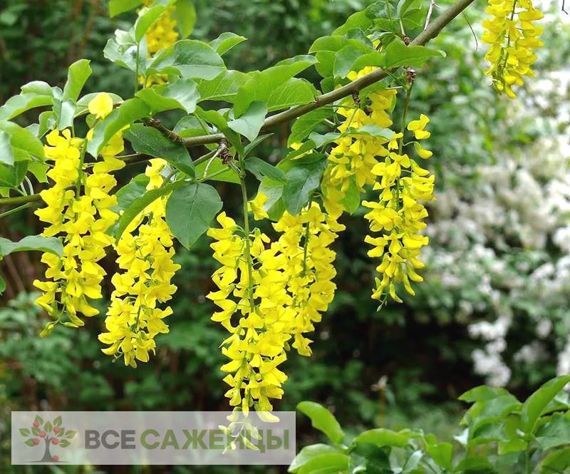 Фото саженцев Бобовник альпийский (Laburnum alpinum)