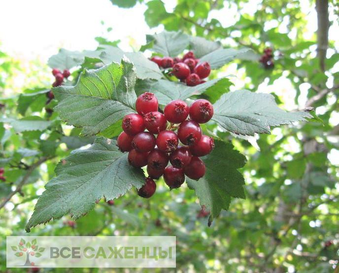Купить Боярышник кроваво-красный (сибирский)