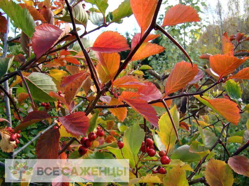 Фото саженцев Боярышник крупноколючковый