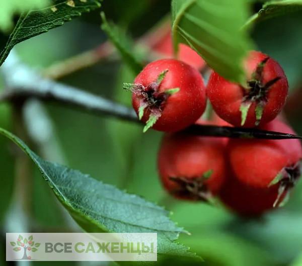 Фото Боярышник крупноколючковый