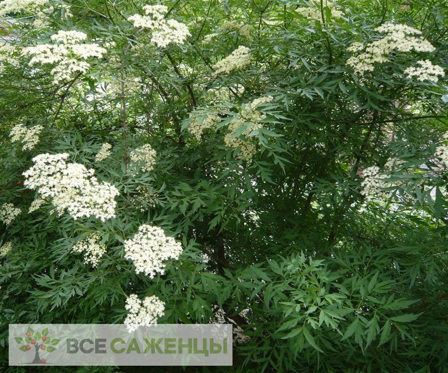 Фото Бузина чёрная Лациниата (Laciniata)