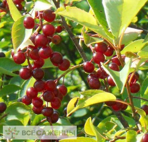 Фото Черемуха Виргинская (Prunus virginiana)