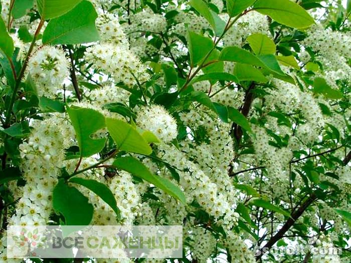 Черемуха Виргинская (Prunus virginiana)