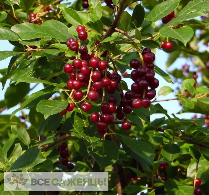 Фото саженцев Черемуха Виргинская (Prunus virginiana)