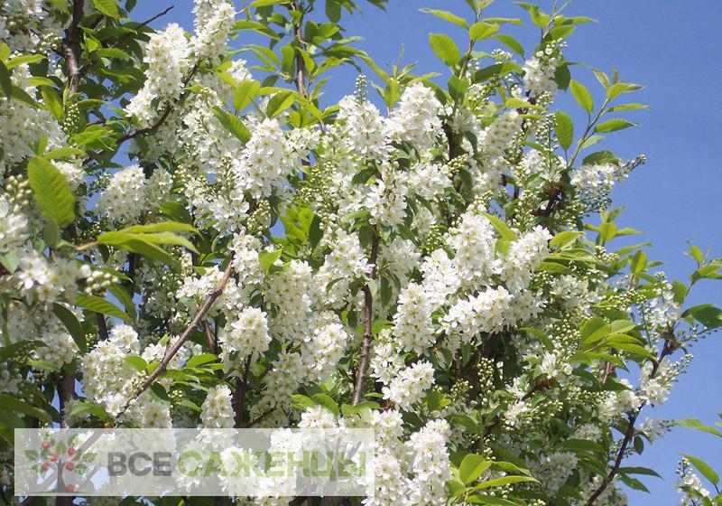 Фото саженцев Черемуха обыкновенная (Prunus padus)