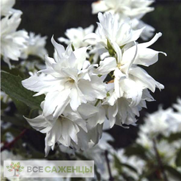 Чубушник (жасмин) Миннесота Сноуфлейк (Philadelphus Minnesota Snowflake)