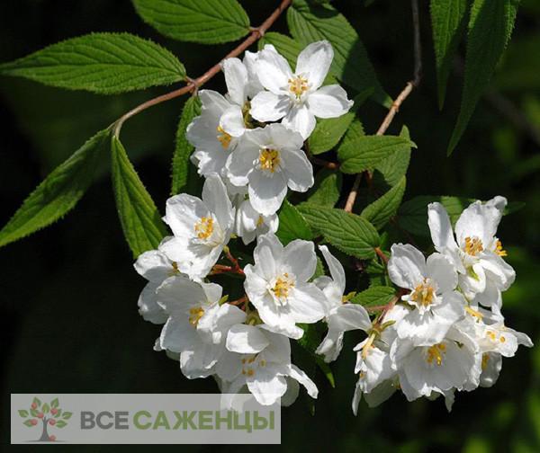 Фото Дейция Изящная (Deutzia Gracilis)