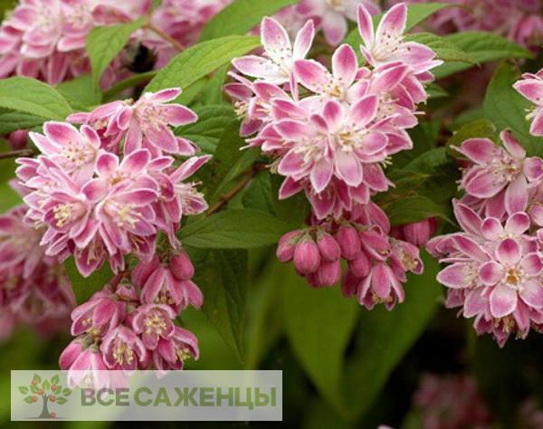 Купить Дейция Розовая (Deutzia rosea)