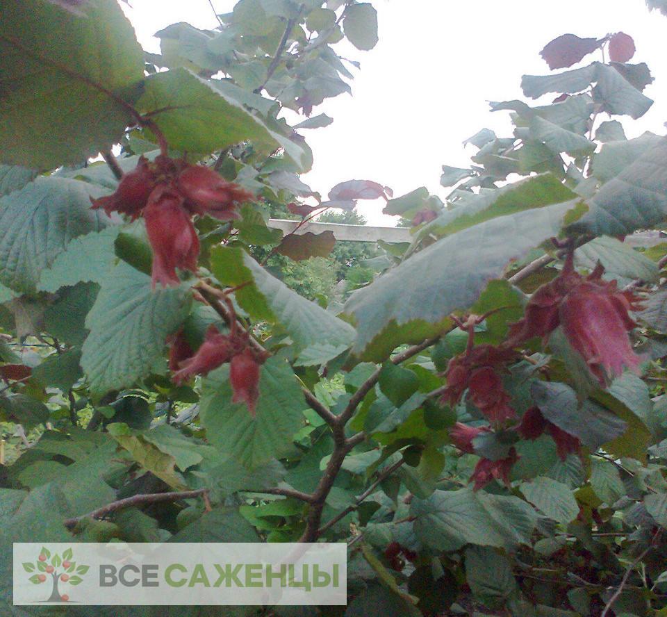Купить Фундук Академик Яблоков