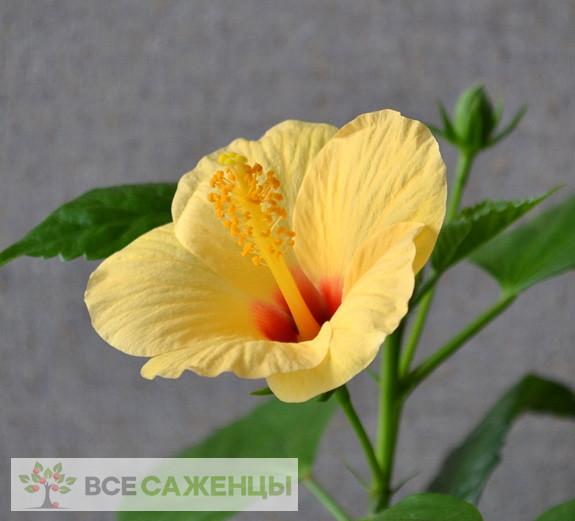 Фото Гибискус Киото желтый (Hibiscus Kyoto Yellow)