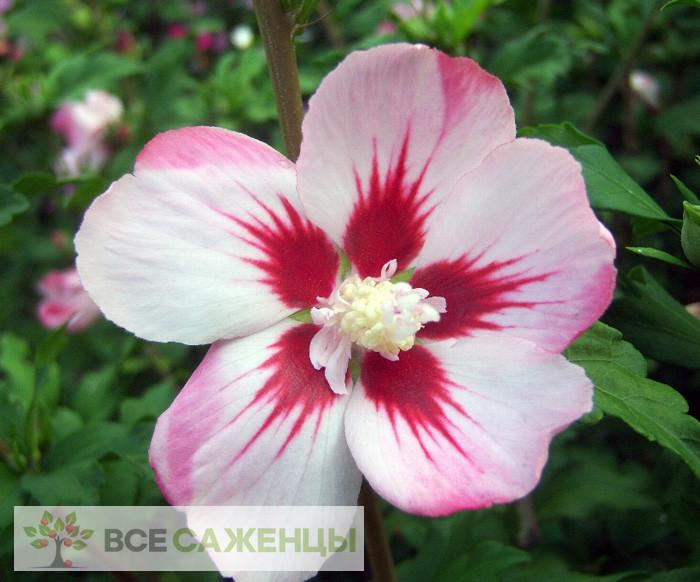 Купить Гибискус сирийский Хамабо (Hibiscus syriacus Hamabo)