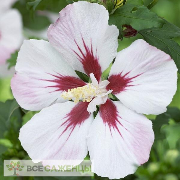 Фото саженцев Гибискус сирийский Хамабо (Hibiscus syriacus Hamabo)
