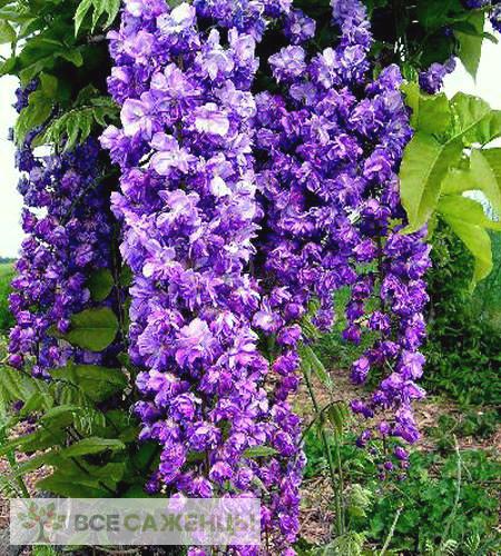 Фото саженцев Глициния Виолацеа Плена (Violacea Plena)