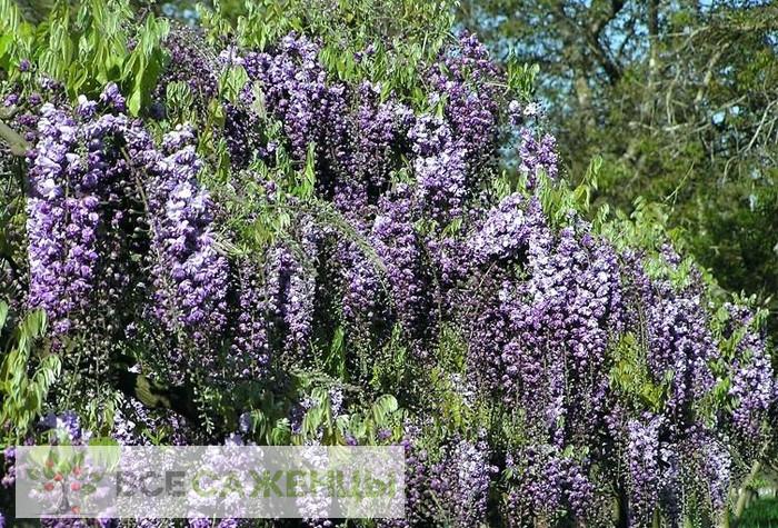 Глициния Виолацеа Плена (Violacea Plena)