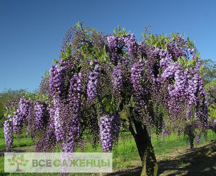 Купить Глициния Виолацеа Плена (Violacea Plena)