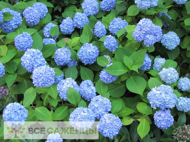 Фото саженцев Гортензия крупнолистная Никко Блю (Nikko Blue)
