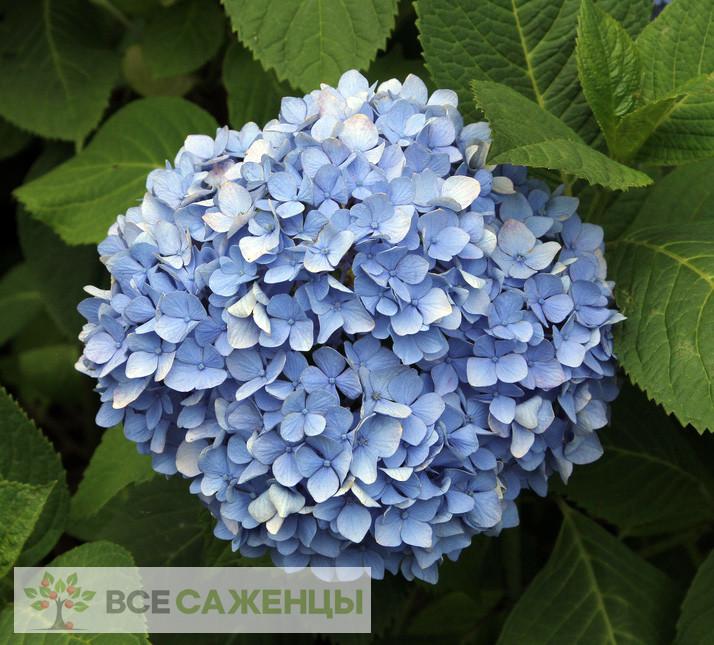 Купить Гортензия крупнолистная Никко Блю (Nikko Blue)
