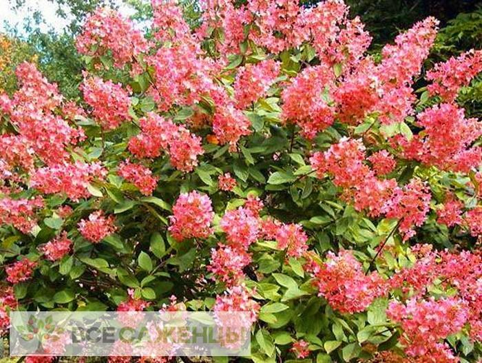 Фото саженцев Гортензия метельчатая Пинк Даймонд (Pink Diamond)