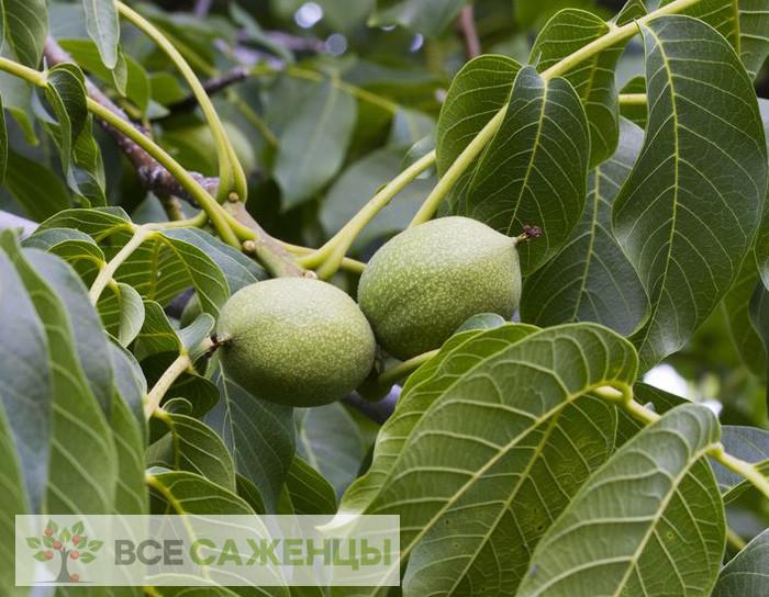 Купить Грецкий орех Астаховский