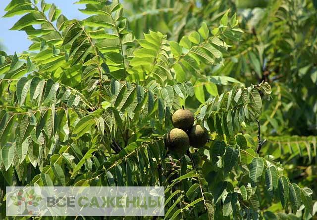 Грецкий орех Черный