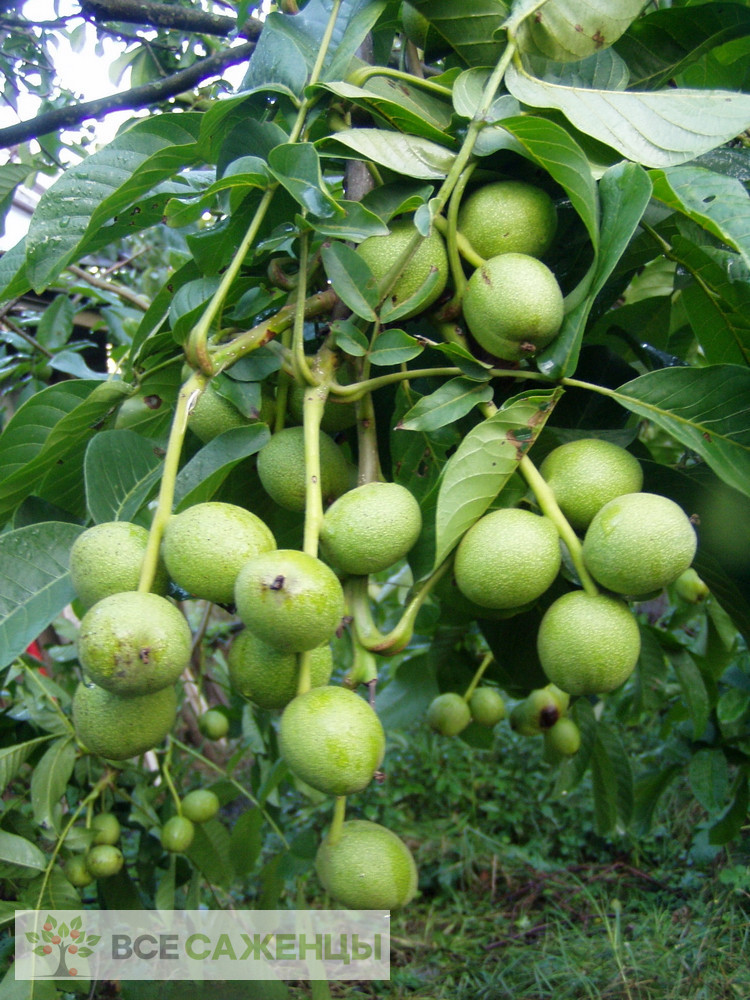 Грецкий орех Карлик