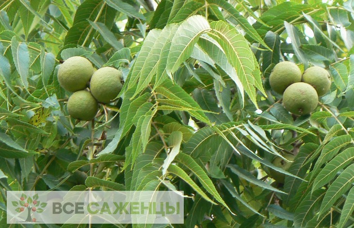 Фото Грецкий орех Скороплодный