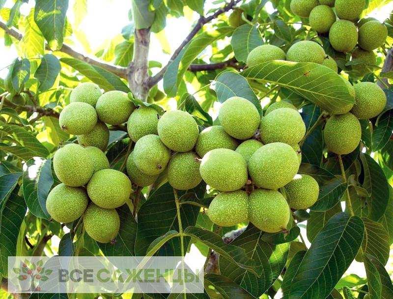 Фото Грецкий орех Урожайный