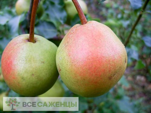 Фото Груша домашняя Краснобокая
