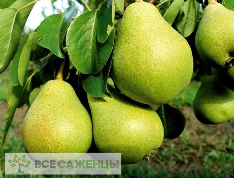 Фото Груша Сказочная