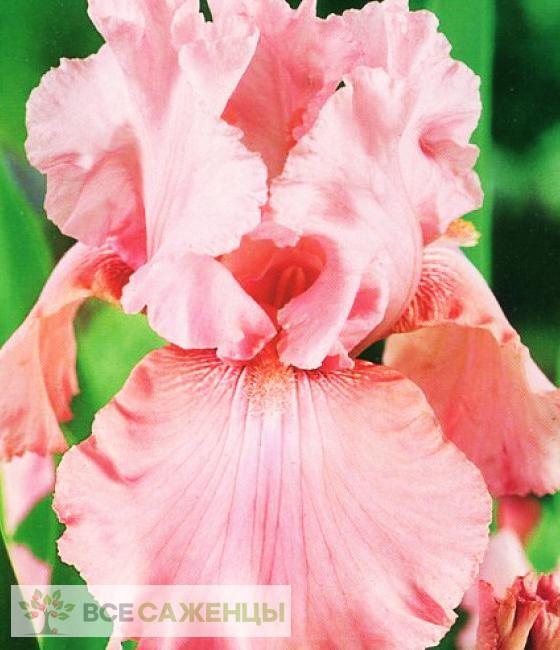 Фото Ирис Блашинг Пинк (Blushing Pink)