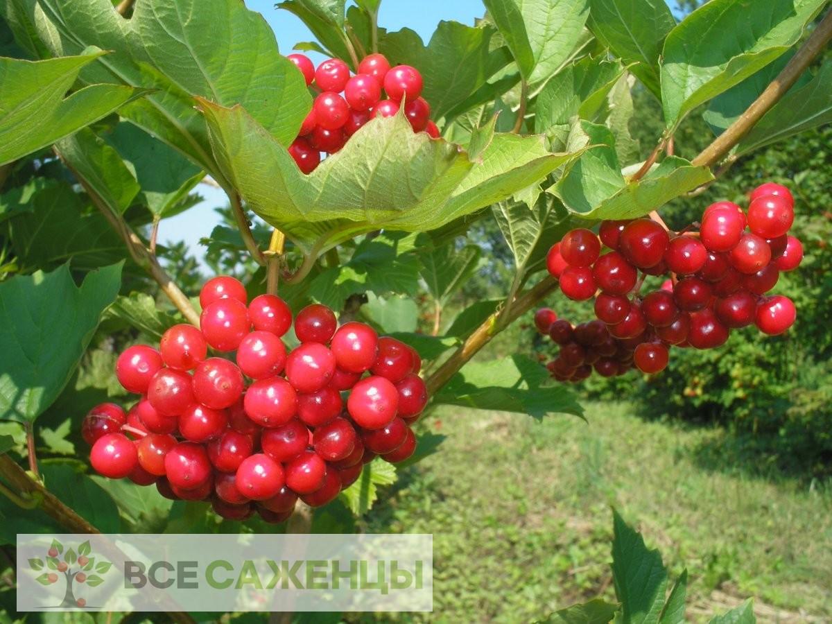 Купить Калина Красная гроздь