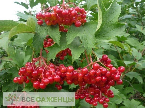 Купить Калина Жолобовская