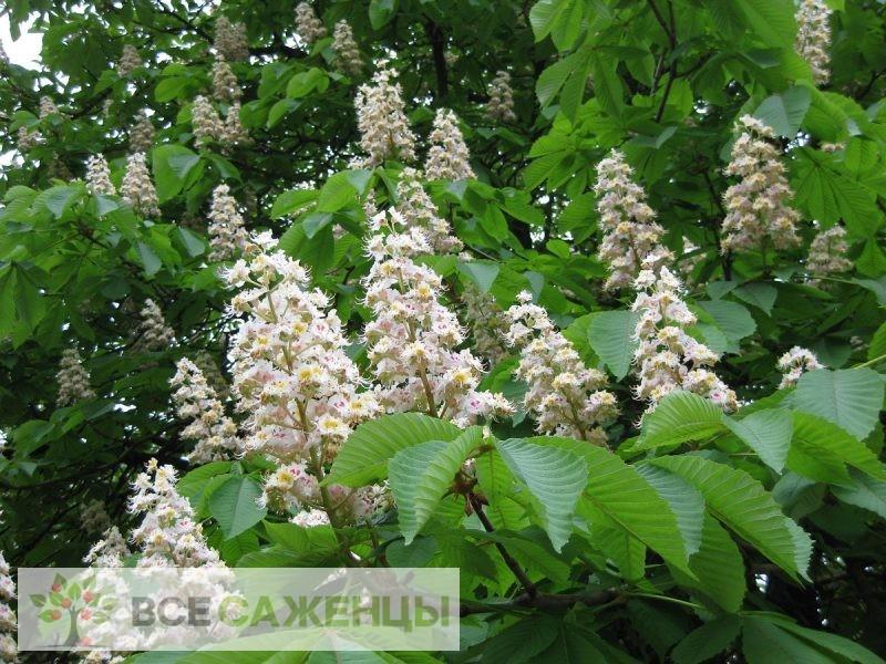 Купить Каштан конский Фастигиата (Aesculus hippocastanum Fastigiata)