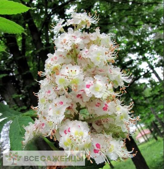 Купить Каштан конский Пирамидалис (Aesculus hippocastanum Pyramidalis)