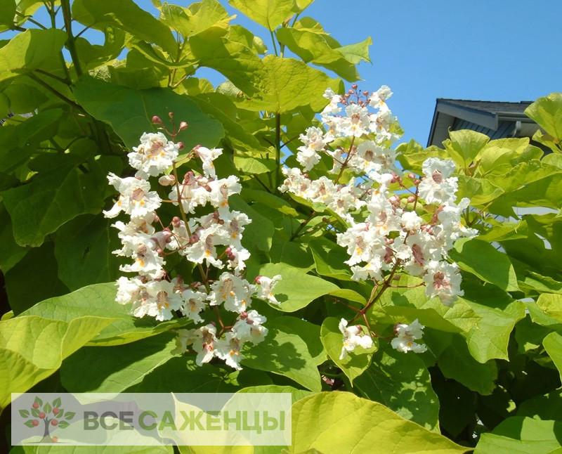 Фото саженцев Катальпа бигнониевидная Ауреа (Catalpa bignonioides Aurea)