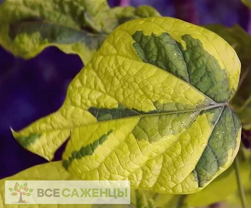 Катальпа бигнониевидная Кене (Catalpa bignonioides Koehnei)