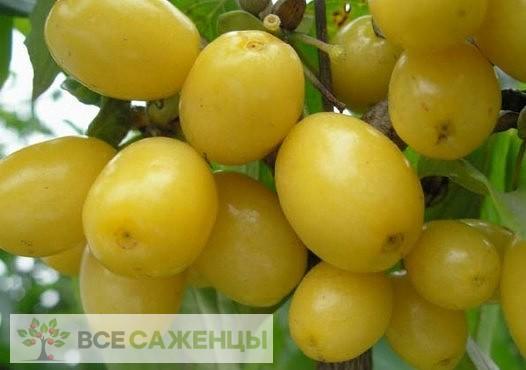 Купить Кизил Галицкий желтый