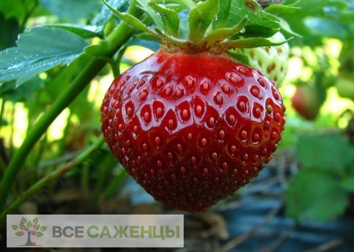 Фото Клубника Полка (Полька)