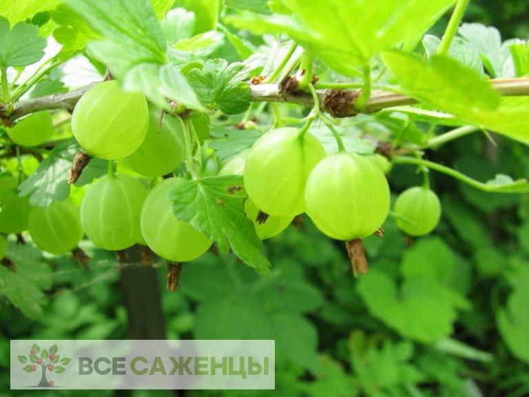 Фото Крыжовник Финик зеленый