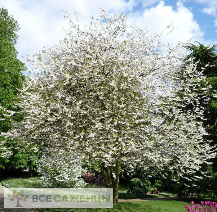 Фото Ландышевое дерево Галезия Каролинская (Halesia Carolina)