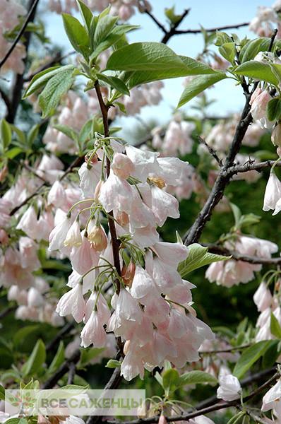 Фото саженцев Ландышевое дерево Галезия Каролинская Розеа (Пинк)