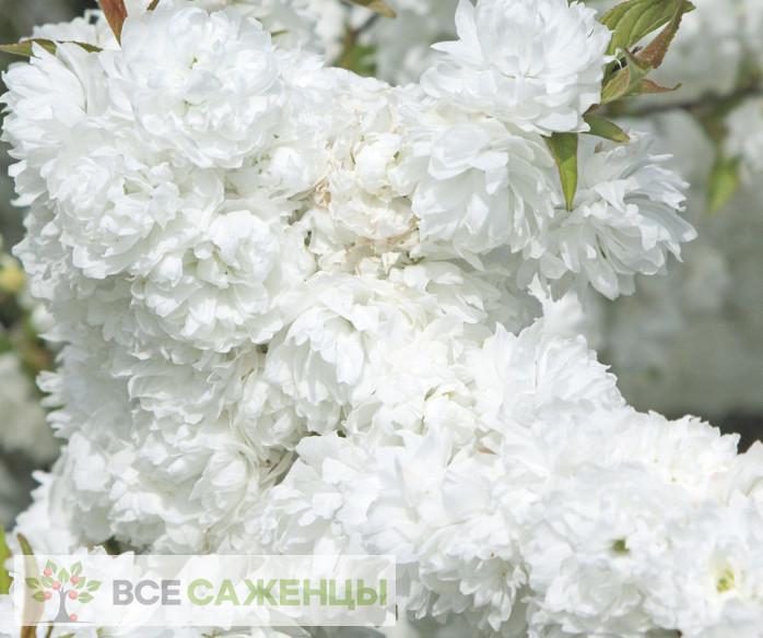 Фото Миндаль декоративный Белый парус